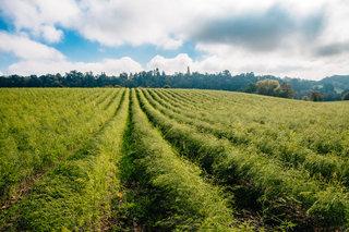 Our seasonal British Asparagus crop